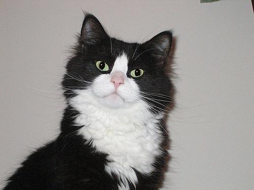 Tuxedo Cats Amazing Cat With a Suit On